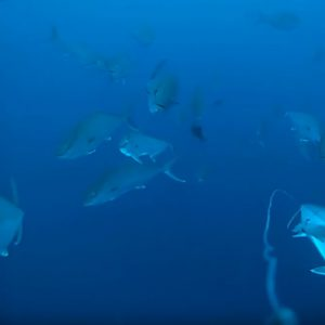 Amberjacks in the Med