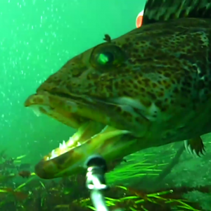 Lingcod On Attack